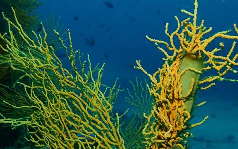 Œuf de roussette accroché sur une gorgone jaune (Eunicella cavolinii)