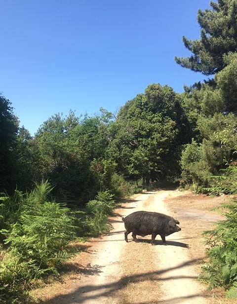 Une rencontre typique sur les chemins de Corse…  © MNHN - R. Rougerie