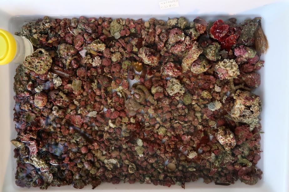 Débris grossiers issus de la drague CD 80 © Michaël Rabiller / MNHN