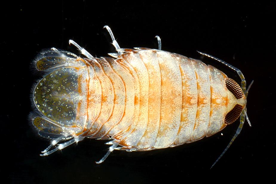 Isopode parasite, famille des Cymothoidae © Zdenek Duris / MNHN