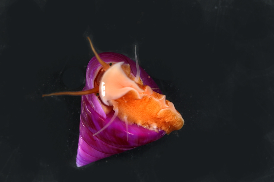 Calliostoma laugieri violet © Gilles Devauchelle / MNHN