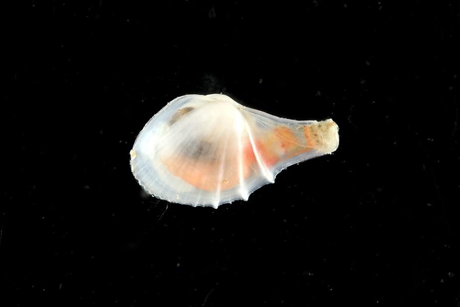 Cardiomya costellata © Gilles Devauchelle / MNHN