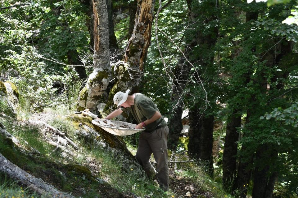 Fabien Soldati en action, à la recherche des Coléoptère saproxyliques sur une chandelle de hêtre  © MNHN - J. Touroult