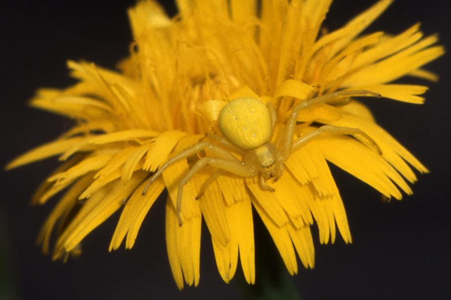 Misumène variable, araignée-crabe