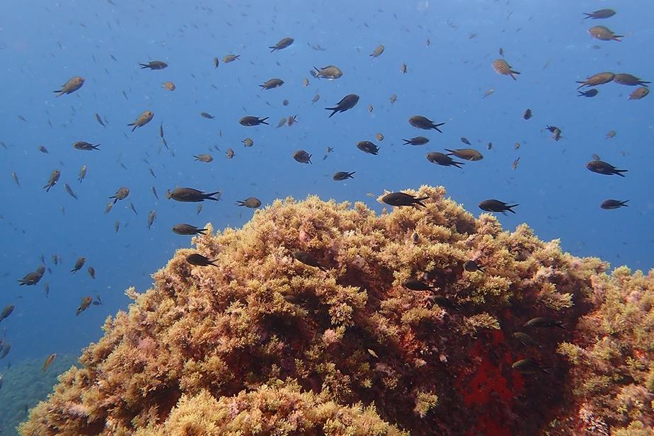 Tête de roche recouverte de végétation algale © Thibaut de Bettignies / MNHN