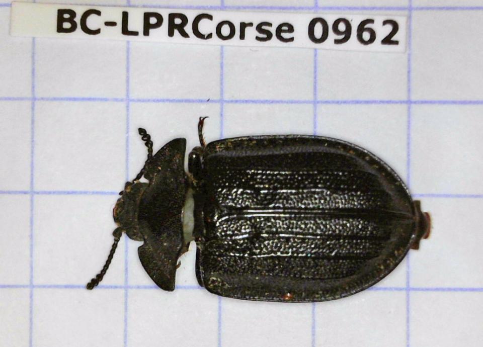 Peltis grossa, spécimen destiné au barre-codes ADN  © MNHN - J. Touroult