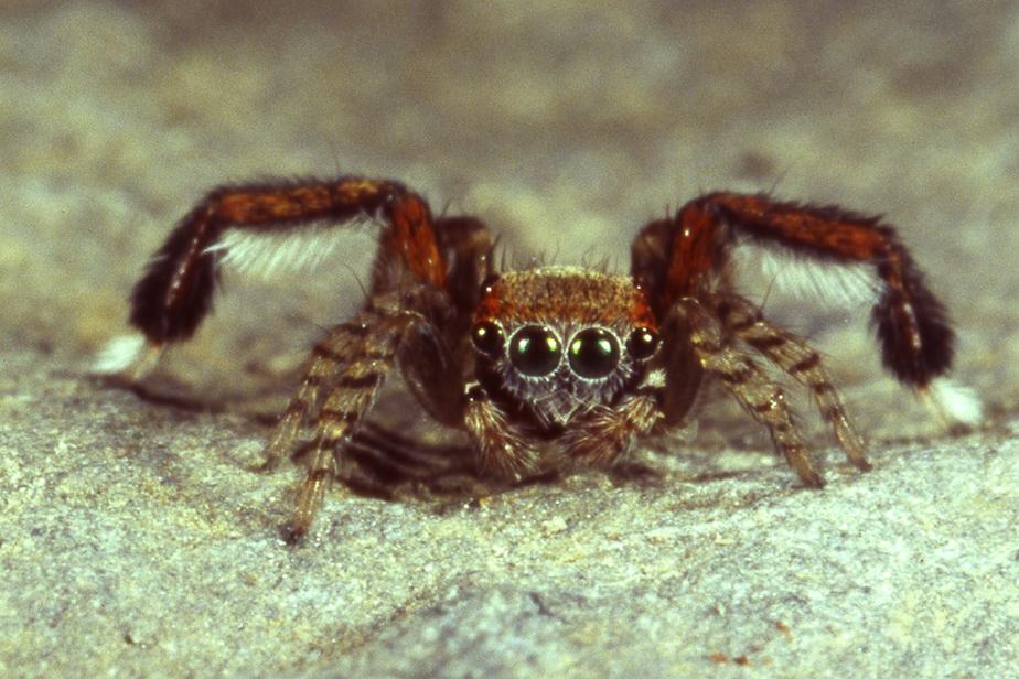 Araignée sauteuse Saitis barbipes © MNHN - A. Canard